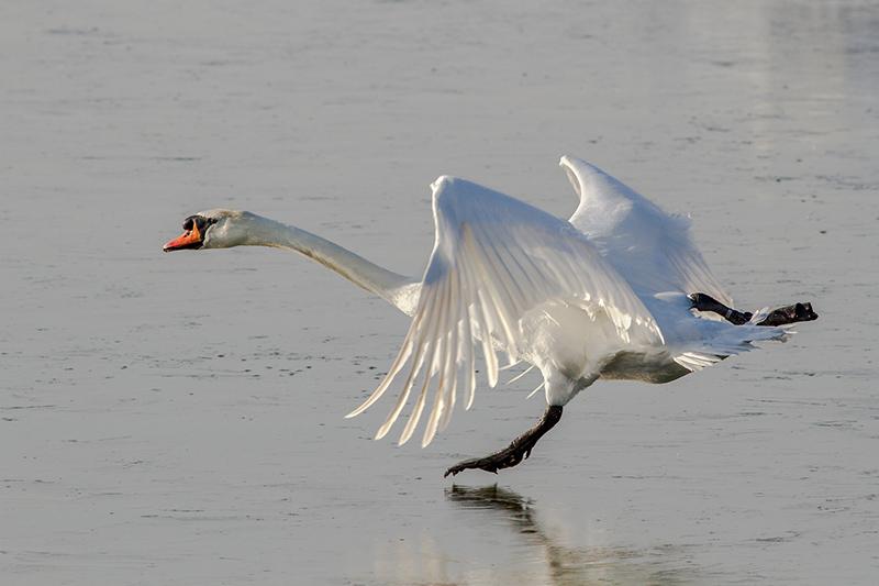 Mute swan on ice