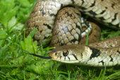 British Reptiles & Amphibians