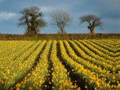 Daffodils, Helford