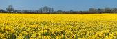 Daffodils, Constantine