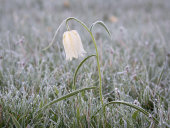 Frosted Snake's head fritillary