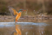 Kingfisher surfacing