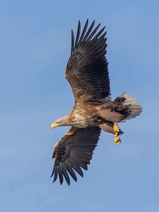 White-tailed sea eagle in flight