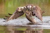 Osprey seizing trout
