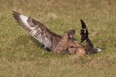 Great skuas fighting