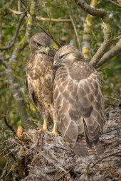 Young Buzzards