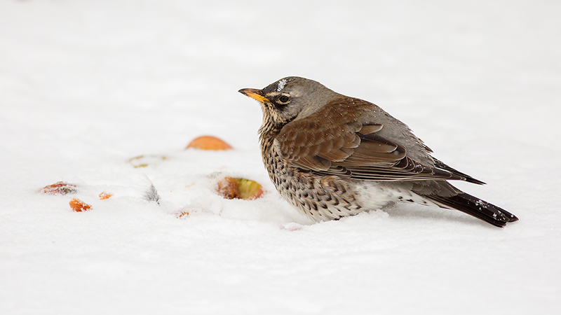 Fieldfare and Apples in Snow