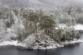 Caledonian Pine Forest in snow