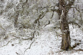 Caledonian Forest in snow