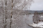 Silver birches in snow