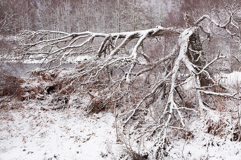 Fallen tree in snow