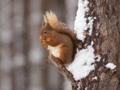 Red squirrel on Pine Tree