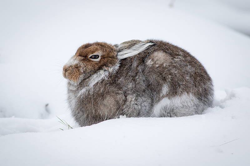 Cold Mountain Hare