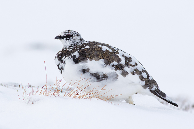Ptarmigan in Mottled Plumage