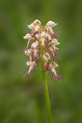 Missing Link Orchid