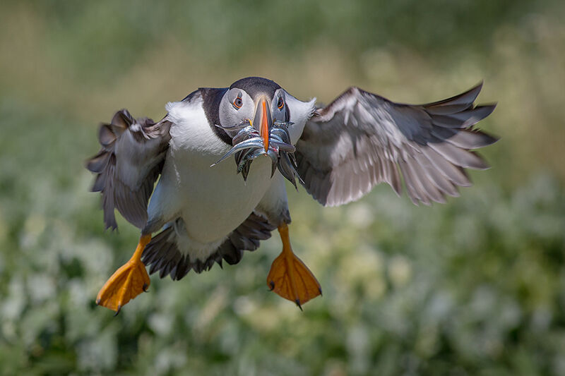 Puffin delivering sand eels