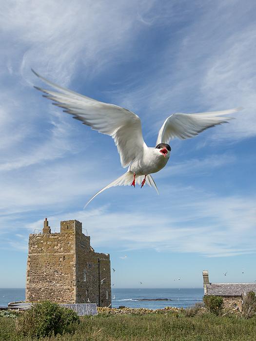 Arctic tern defending territory
