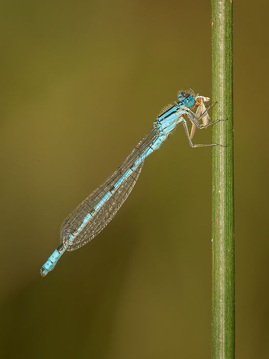 Common blue damselfly eating moth