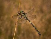 Golden-ringed dragonfly