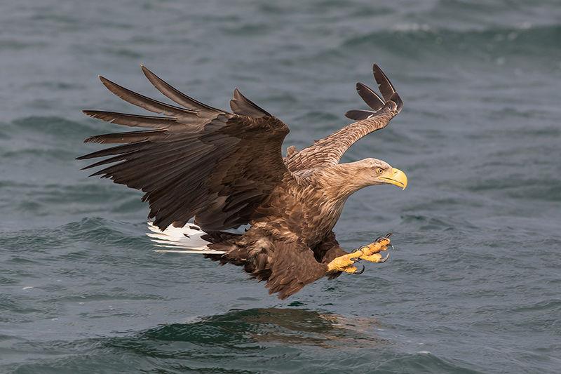 White-tailed sea eagle hunting