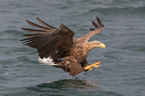 Mull's Otters and Eagles<br>18 to 23 April 2022