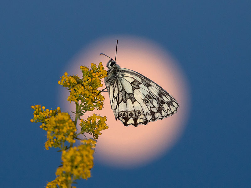 Marbled white and Moon