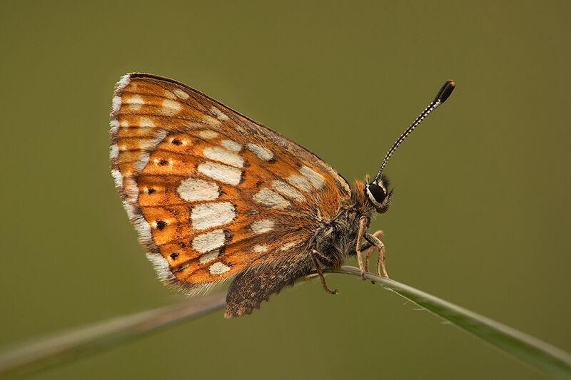 Duke of Burgundy (Hamearis lucina), Morgans Hill, Wiltshire