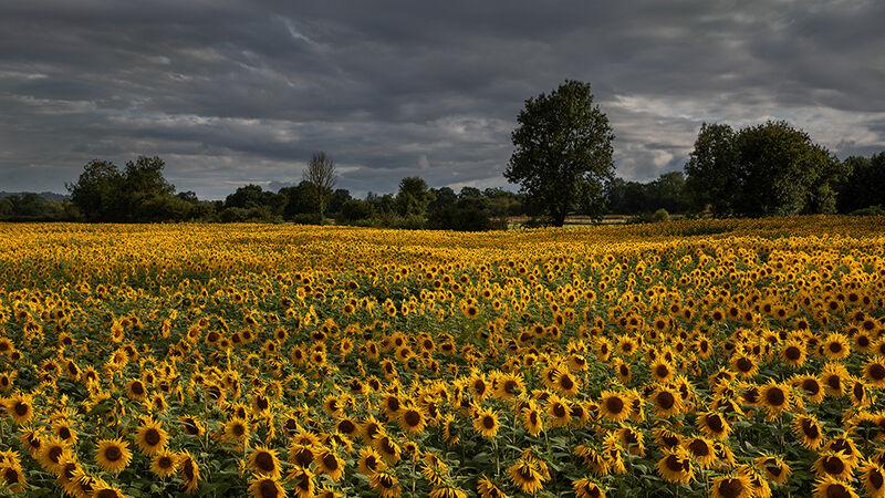 Sunflowers under Stormy Sky