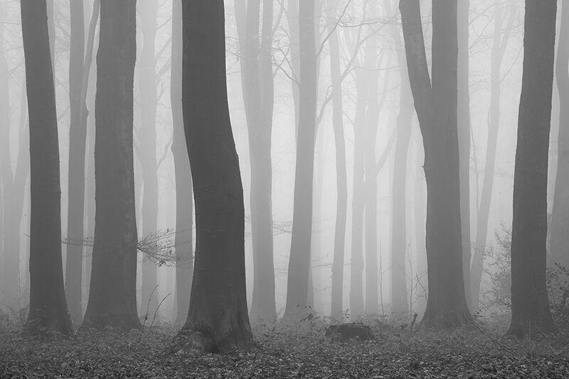 Misty beech trees