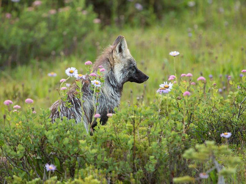 Cascade silver fox