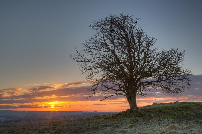 Hawthorn tree, Windmill Hill