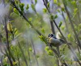 Tit in the Willow