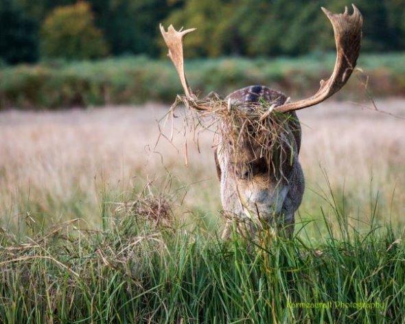 Dressed Deer