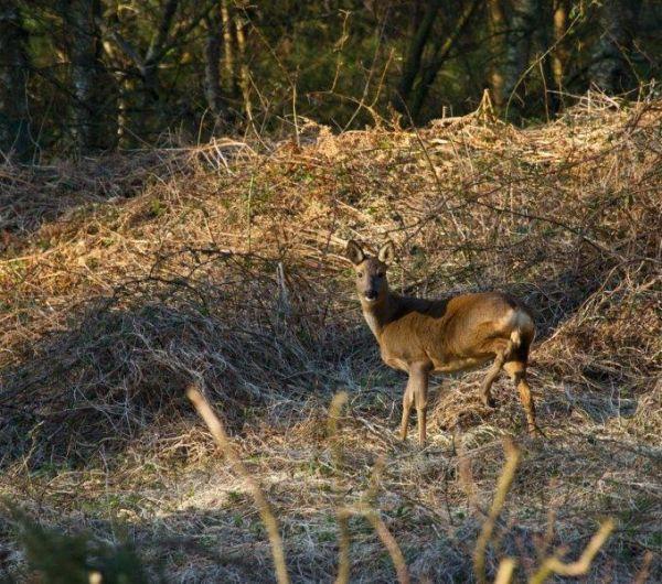 Camouflaged Hindhead Deer