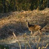 Camouflaged Hindhead Deer