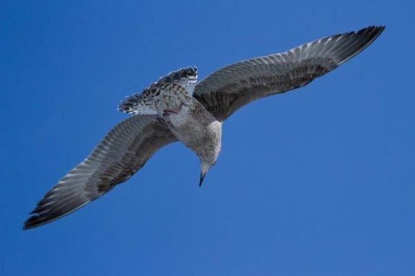 Spotting Seagull