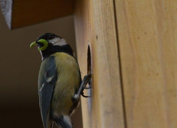 Great Tit with morsel