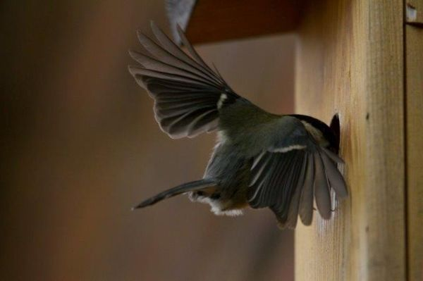 Great Tit Heading Home