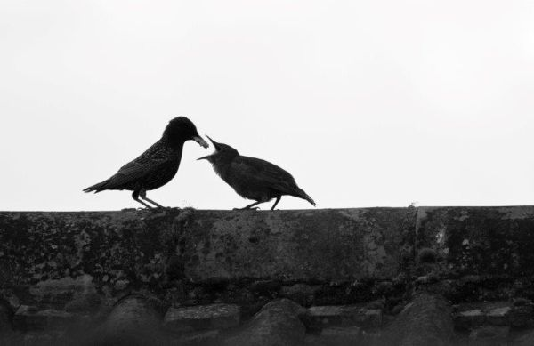 Young Starling  - feeding time