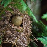 Wren in roosting pocket