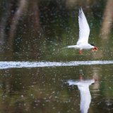 Tern helps itself to Goldfish