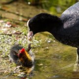 Coot feeding young