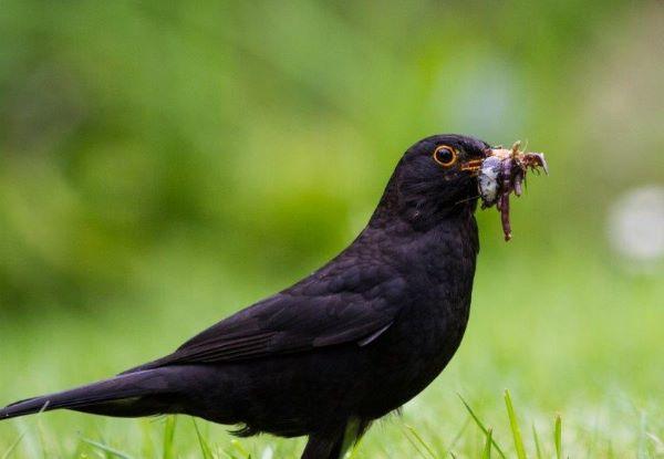 Male Blackbird filling up before returning to nest