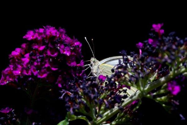 Large White Butterfly on Buddleia