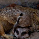 Meerkat pillow