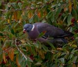 Tree climbing, berry eating, common pigeon