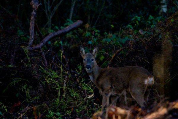 Hindhead Deer