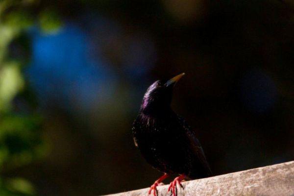 Starling pose