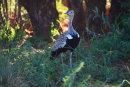 Red Crested Kohraan
