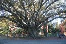 A tree in Central Perth